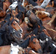 The Milling of a Herd of Wild Mustangs. Most Beautiful Animals, Beautiful Horses, Beautiful Creatures, Majestic Horse, Majestic Animals, Farm Animals, Cute Animals, Dark Autumn, Wild Mustangs