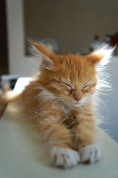 es un gato miau