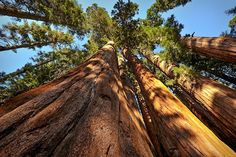 Researchers Are Climbing Trees to Save California's Giant Sequoias From Drought | TakePart