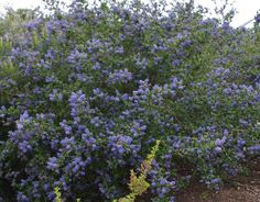 Mountain Haze grows fast, within about 2 years, to around 8 eight feet. It is also about 8 feet wide. Mountain Haze is another good Ceanothus for creating a hedge. It is fast, evergreen, and attractive!