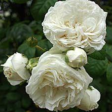 Rambling Rose Rosa setigera 'Long John Silver'. Vierländer Rosenhof