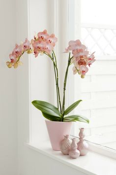 Orchid - Care instructions and useful information about the queen of indoor plan. Orchid - Care in Windowsill Decoration, Window Sill Decor, Indoor Orchids, Indoor Plants, Orchid Plants, Cactus House Plants, Deco Zen, Orchid Arrangements, Orchid Care