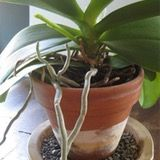 An example of an orchid that needs repotting, but do to it sending out its flower spike, this orchid will have to wait until the flowering season is over.