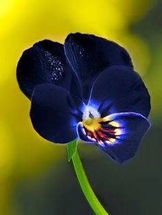 """Pansies (violets) are among the few flowers that seem truly black. and I have noticed that I prefer flowers that are ALMOST black, but not quite. This midnight blue is better than black. and with that little """"aurora borealis"""" eye in the middle. Amazing Flowers, My Flower, Beautiful Flowers, Cactus Flower, Exotic Flowers, Simply Beautiful, Arrangements Ikebana, Black Flowers, Yellow Flowers"""