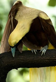 Lesser Bird of Paradise by petepictures, via Flickr