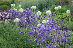 Allium Mount Everest and Aquilegia vulgaris (also nice with dark Allium and white Aquilegia!)