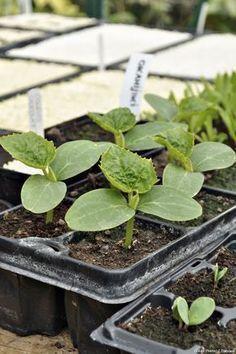 comment faire pousser des courgettes dans un pot sur son balcon plantes pinterest comment. Black Bedroom Furniture Sets. Home Design Ideas