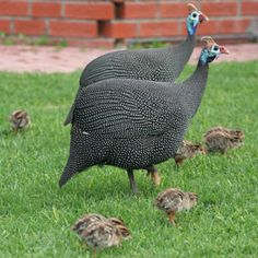 Helmeted Guineafowl, Everywhere South Africa. These birds seemed to be a constant background noise everywhere I went in SA. Sea Birds, Wild Birds, South African Birds, Guinea Fowl, Game Birds, Farm Life, Farm House, Birds Of Prey, Little Birds