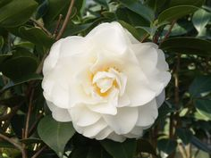 Swan Lake™ Camellia - Monrovia - Swan Lake™ Camellia Snow white, extra large blooms with a semi-double, peony form. Showy flowers contrast well with the glossy, dark green foliage. Use as a specimen in a woodland garden, as a privacy screen or in a container. Flowers are lovely when cut and floated in a bowl of water. A prized plant of the milder regions. Mid to late season bloomer. Evergreen.