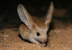 Long-eared jerboas are nocturnal, mouse-like rodents with long ears. Habitat: sandy, desert lands of Mongolia and China. They spend their days in burrows and come out at night when the temperatures have dropped significantly. The destruction of their habitats by people is thought to be the main cause of their threatened existence.