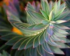 This plant shows a natural pattern as the leaves grow in the same manner while spiraling.