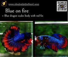 All of Betta Fish – A Guide on Patterns, Color in the world - Nice Betta Thailand.CO.,LTD Orange Bodies, Brown Bodies, Colorful Candy, Colorful Fish, Blue Dragon, Gold Dragon, Betta Fish Types, Copper Dragon, Betta Fish