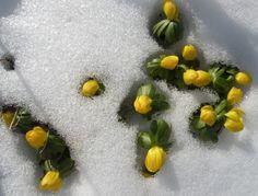 Ranniki kwitną również w śniegu