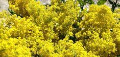 Flori de sanziene, florile magice ale verii Park, Plant