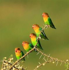 Fischer's lovebirds are small and unusually terrestrial parrots. East African Wildlife www.bradtguides.com
