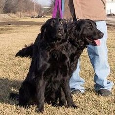 Maggie and Molly is an adoptable Flat-Coated Retriever Dog in White Heath, IL. Hello, Everyone! We are Maggie and Molly, and we are bonded twin sisters! We are approximately 2 years old! We were pulle...