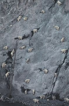 mountain goats - these guys get themselves into some pretty impossible places...