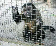 Sad: A South American brown capuchin monkey looked imploringly out of its cage for several minutes before grabbing a banana and returning to...