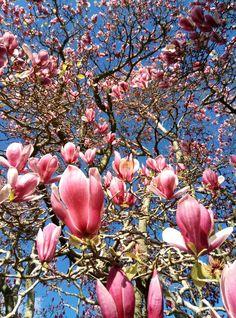 Magnolia?