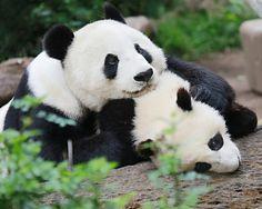 Xiao Liwu cuddling with mama bear Bai Yun.