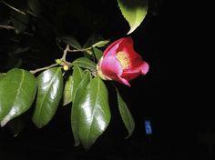 camellia , Kesen tsubaki