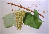 """Classic Image of Furmint Grapes  Furmint - White Wine Grape Furmint, mostly Hungary but...  The name Furmint derives from""""froment"""", a French word for wheat, given the wheat-gold color of its wine. Furmint most likely originated in Hungary, or perhaps Italy or Serbia. It spread to southern France in the early Nineteenth Century. Furmint is grown principally in Austria, Hungary, the Czech Republic, and other countries in Central and Eastern Europe."""