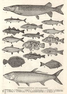a vintage scientific illustration of fish from an antique book.
