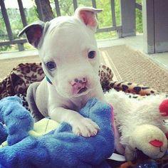 Such a cutie! #PitBull