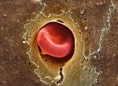 Single Erythrocyte squeezing through capillary. Capillaries are where the oxygen exchange with surrounding tissues occurs. Red Blood Cells give away their hemoglobin, receive the CO2 produced & are transported back to the lungs for more oxygen. From big arteries the vessels turn into small arterioles & then capillaries where the exchange occurs. The capillaries lead into venules & then back to big veins leading back to the lungs.