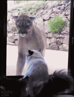 4gifs: House cat isn't afraid of mountain lion. [video]