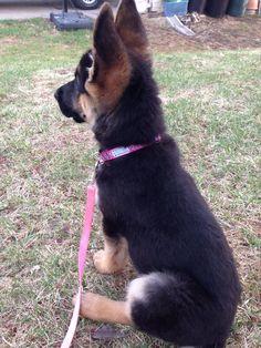 German shepherd puppy listening so well!! Gsd - Gotta love those ears!
