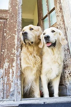 Pure love, how they wait and watch. #dogs #pets #GoldenRetrievers Facebook.com/sodoggonefunny