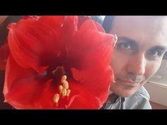 Como Cuidar Da Flor Amarilis flores regar sol fazer Amaryllis dar flor de novo podar plantar em vaso - YouTube Crown, Youtube, Jewelry, Giving Flowers, Take Care, Vases, Corona, Jewlery, Jewerly