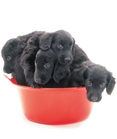 Flat-Coated Retriever. Eeny, meeny, miny, mo, catch a puppy by his toe, if he cries, let him go, eeny, meeny, miny, mo. There's more to choosing the right puppy than this.