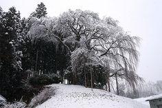 雪桜_合戦場の枝垂れ桜