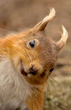 Red Squirrel looking cheeky. Happy Animals, Nature Animals, Animals And Pets, Funny Animals, Cute Animals, Cute Creatures, Beautiful Creatures, Animals Beautiful, Hello Beautiful