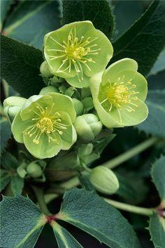 "earthlyenchantment: "" (via Pinterest • The world's catalogue of ideas) Ranunculaceae Helleborus x sternii / BBC Gardeners' World """