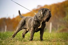 "The breed is commonly referred to as the ""Mastiff"". Also known as the English Mastiff this giant dog breed gets known for its splendid, good natu Ugly Dog Breeds, Top Dog Breeds, Ugly Dogs, Giant Dog Breeds, Akc Breeds, Giant Dogs, American Mastiff, Mastiff Puppies For Sale, English Mastiff Puppies"