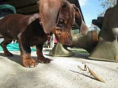 Dachshund vs Praying Mantis