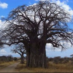 MY BAOBABS....