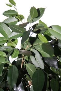 Starting Rubber Trees How To Propagate A Rubber Tree