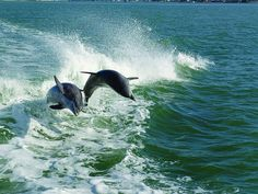 Jumping dolphins Marco Island, Florida by Naples Marco Island Everglades CVB, via Flickr