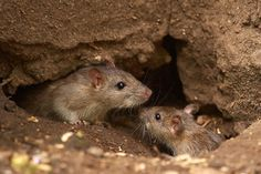 Important facts about Mice and Rats Facts About Mice, Keep Mice Away, Getting Rid Of Rats, Green Pest Control, Rat House, Mouse Hole, Mice Control, Mouse Pictures, Important Facts