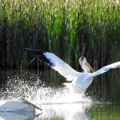 Water landing. #pelicans