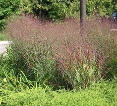 11 - Warrior Switch Grass