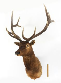 LARGE ELK TAXIDERMY MOUNT : Lot 1137