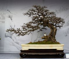 The upright styles in bonsai are one of the most popular and easy styles for beginners. Learn all about the two main upright styles in bonsai growing. Indoor Bonsai Tree, Bonsai Plants, Bonsai Garden, Indoor Plants, Air Plants, Cactus Plants, Graffiti 3d, Mini Plantas, Plantas Bonsai