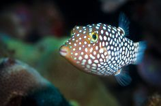 Hawaiian Whitespotted Toby by Peter Liu Photography