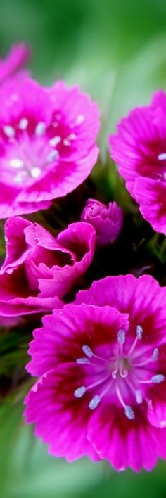 Nadeshiko pink @ its-a-green-life Amazing Flowers, My Flower, Pink Flowers, Beautiful Flowers, Pink Carnations, Dame Nature, Drink Bar, Bouquet, Belleza Natural