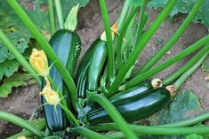 Zucchini or courgette is a summer squash which can reach nearly a meter in length, but which is usually harvested at half that size or less. In England, a fully grown zucchini is referred to as a marrow Growing Zucchini, Zucchini Plants, Growing Veggies, Growing Plants, How To Grow Zucchini, Easiest Vegetables To Grow, Growing Courgettes, Veg Garden, Fruit Garden